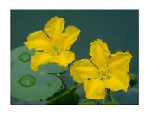 1-YELLOW FLOATING HEART  MINI LILY PLANT WINTER HARDY SHIPPED DORMANT