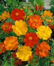 Cosmos- Bright Lights Mix- 100 Seeds - 50 % off sale