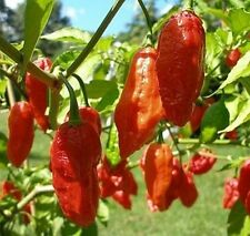 100 MORICH NAGA JOLOKIA SEEDS GHOST HOTTEST PEPPER 100 SEEDS Free Postage