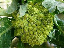 100 Graines non traitées de Chou Fleur ROMANESCO Brassica oleracea var. botrytis