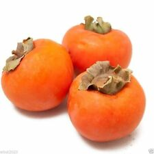 Japanese Persimmon,(25 Seed ) Asian Persimmons(Diospyros kaki-Fuyu) Tree Shrub