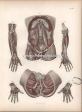 "Anatomy ""Muscles of the Abdomen/Rectum"" 1864 Hand-colored Copperplate Engraving"