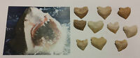 GENUINE Fossil Shark Tooth Wholesale Party Gift Bag Filler Pack (1 x Tooth)