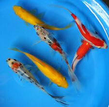 4-5 inch Live 6 pack of 4-5 inch Goldfish for fish tank, koi pond or aquarium