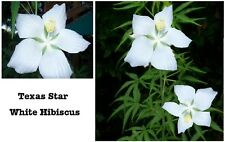 PURE WHITE TEXAS STAR SHAPED HARDY PERENNIAL HIBISCUS FLOWERING  BUSH 5 SEEDS