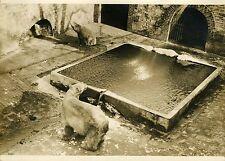 """""""2 OURS BLANCS au JARDIN des PLANTES 1932"""" Photo originale G. DEVRED / Agce ROL"""
