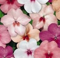 Impatiens/Busy Lizzy - Tempo Butterfly  Mixed F1 - 25 Seeds