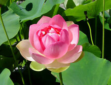 Pink Lotus - Waterlily Flower Seeds - Pure Gorgeous Flower 5 Seeds