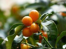 ☺5 graines de kumquat. fortunella margarita