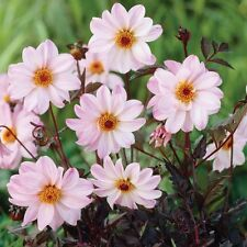 Dahlia Bulb/Tuber Dahlia Bishop of Leicester Top Quality W.C.Prins Summer Bulbs