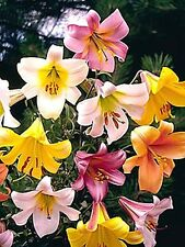 6 fragrant  lilium Trumpet lily mixed collection bulbs 16/+ cm.