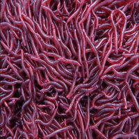 50Pcs Red Worm EarthWorm Fishing Soft Lure Tackle Baits Bass Trout Bream 4cm