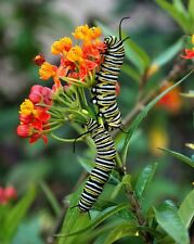 3 Live Monarch Butterfly Caterpillars + Organic Milkweed