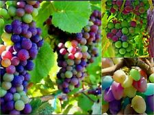 10 RAINBOW GRAPES SEEDS  Edible Fruit  Garden Colourful Grapevine Vine Tasty