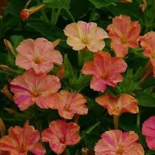 Four O'Clock Seeds ~ Rare Mirabilis Jalapa ~MARBLE~ Yellow/Red Flowers ~15 Seeds