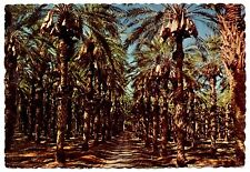 Date Groves Postcard California Clusters Ripening State Palm Trees Vintage