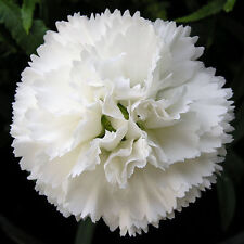 25 graines OEILLET CHABAUD BLANC(Dianthus Caryophyllus)X23 WHITE CARNATION SEEDS