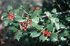 "20 Reeve west America holly seeds - Ilex opaca "" Reeve west """