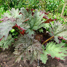 RHEUM PALMATUM EXCLUSIVE COLLECTION (4 VARIETIES) SEED