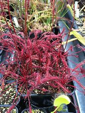 Drosera Capensis Red Plants Seed Fresh 2016