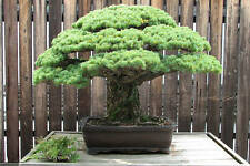 Japanese Black Pine# Pinus Thunbergii, Evergreen, Bonsai Tree Seeds(5 Nos)T-060