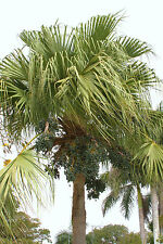 Livistona chinensis @J@ exotic rare chinese fan palm tree  palms  seed 50 seeds