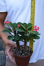 Crown of Thorns PINK Euphorbia Milii Plant Cactus  BLOOMING 2 plants