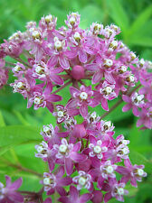ROSE MILKWEED * Asclepias incarnata *       Attracts Butterflies!      SEEDS
