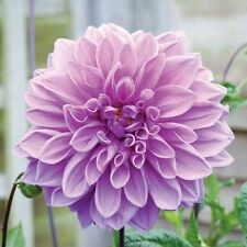 Dahlia Lavender Ruffles,Dinnerplate Series, Lilac White, Bare Root size #1 tuber