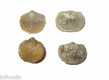 Ordovician Brachiopod collection Bromide Formation Oklahoma Mimella Glyptorthis