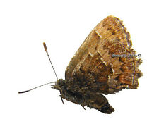 Unmounted Butterfly/Lycaenidae - Callophrys (Incisalia) niphon clarki, male, A-