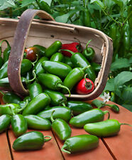 500 JALAPENO HOT PEPPER SEEDS, VEGETABLE,  NON GMO, COMB S/H + FREE GIFT