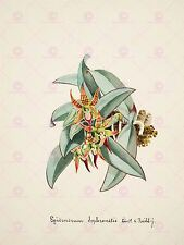PAINTING BOOK PAGE ORCHID EPIDENDRUM SOPHRONITIS LARGE ART PRINT POSTER LF1470