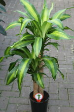 Indoor Plant for Home or Office -Dracaena Massangeana-Corn Plant-Apprx 90cm Tall