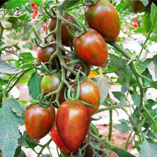 Dark Purple Tomato Seed 20 Seeds Green Stripes Lycopersicon Esculentum Seed C055