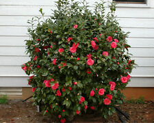 Camellia Adolphe Audusson Luxurious Evergreen Shrub