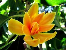 Rarest Michelia or Magnolia Champaca Joy Perfume Champa Tree 6 seeds for growing