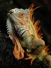 ART PRINT POSTER PHOTO ANIMAL IGUANA LIZARD REPTILE SCALES SPINES LFMP0701