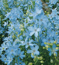FD1548 Blue Larkspur Seed Delphinium Consolida Flowers Seeds ~1 Bag 30 Seeds~
