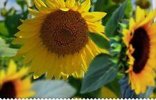 35 Graines de Tournesol BIO seeds jardin plantes fleurs decortive potager
