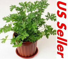 50 PCS Mosquito Repellant Plant Seeds T10, Garden Mozzie Buster US Seller