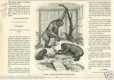 Gorilla Stuffed London Gorilles British Museum Londres UK GRAVURE OLD PRINT 1865