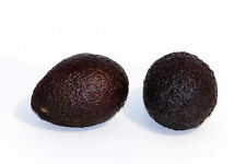 2' Feet Tall Hass Avocado Tree Grafted  We sell the Highest Quality Trees