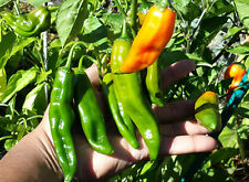 Aji Amarillo - Most Widely Used Chilli in South and Central American Cooking