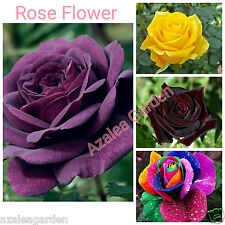 Rare Rose Flower Live Plant Combo - Purple Rainbow Yellow Dark-Red Healthy Plant