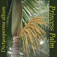 ~Princess Palm~ GRACEFUL & COLORFUL Dictyosperma album LIVE Small Potted Plant
