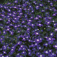 Lobelia - Mrs Clibran - 5000 Seeds