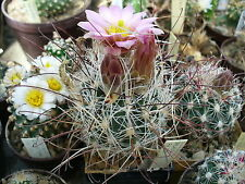 10 Samen : Sclerocactus nyensis FH 105 - Seeds frosthart