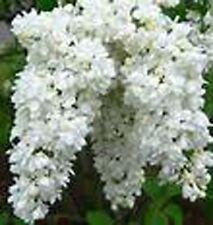 white Lilac- Madam Lemoine~ 2 to 3 yr bare root~Plant~perennial