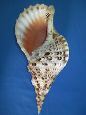 HUGE Charonia tritonis- Tritons Trumpet, 370mm length( 14.56 inch) color/pattern